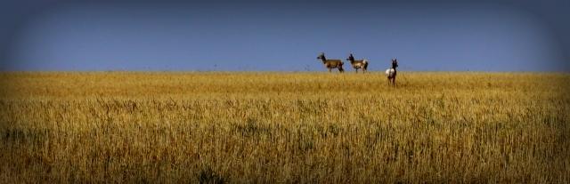 50-antelope